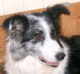 Casey_-_border_collie_00
